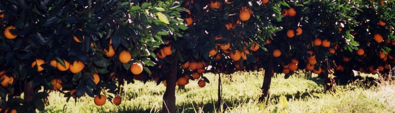Outspan-Citrus